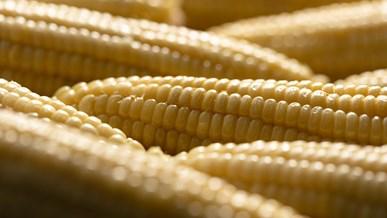 Sukkerrør og majs